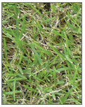 Wintergreen Couch - entry level turf variety